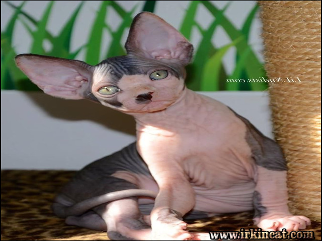 sphynx-kittens-for-sale-florida The Biggest Myth About Sphynx Kittens For Sale Florida Exposed