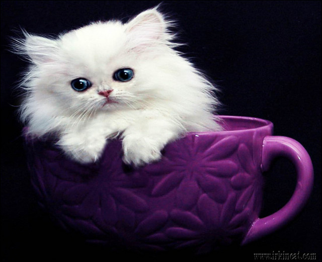 Get the Scoop on Teacup Persian Kittens For Sale Near Me Before You ...