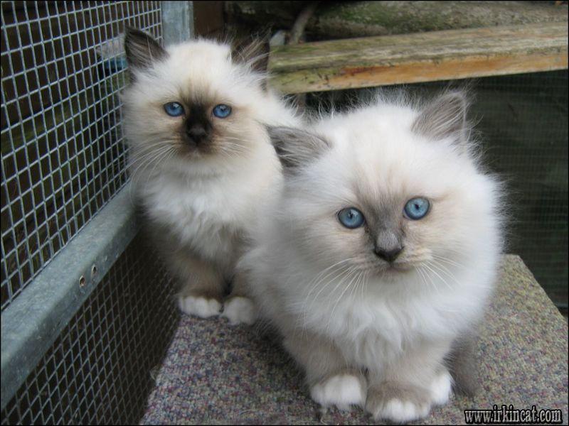 Birman Cat Rescue Adoption