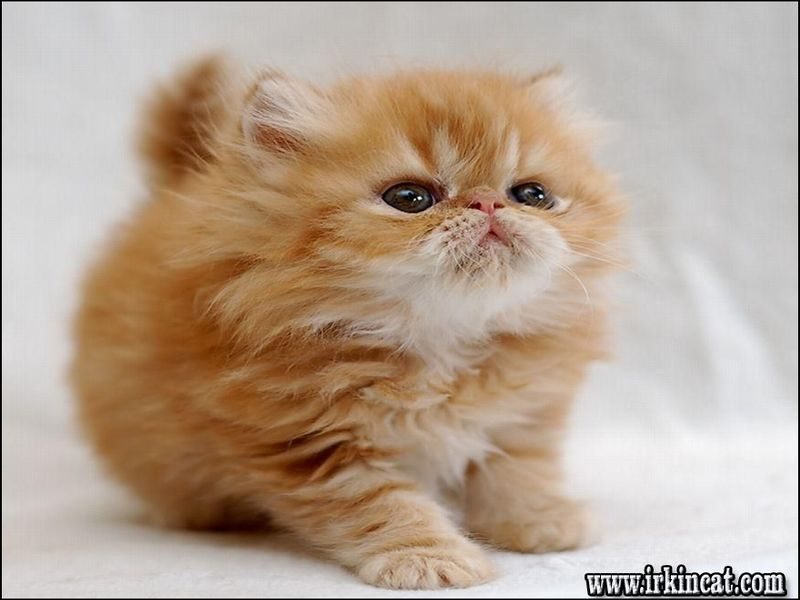 how-much-does-a-persian-cat-cost What You Don't Know About How Much Does A Persian Cat Cost
