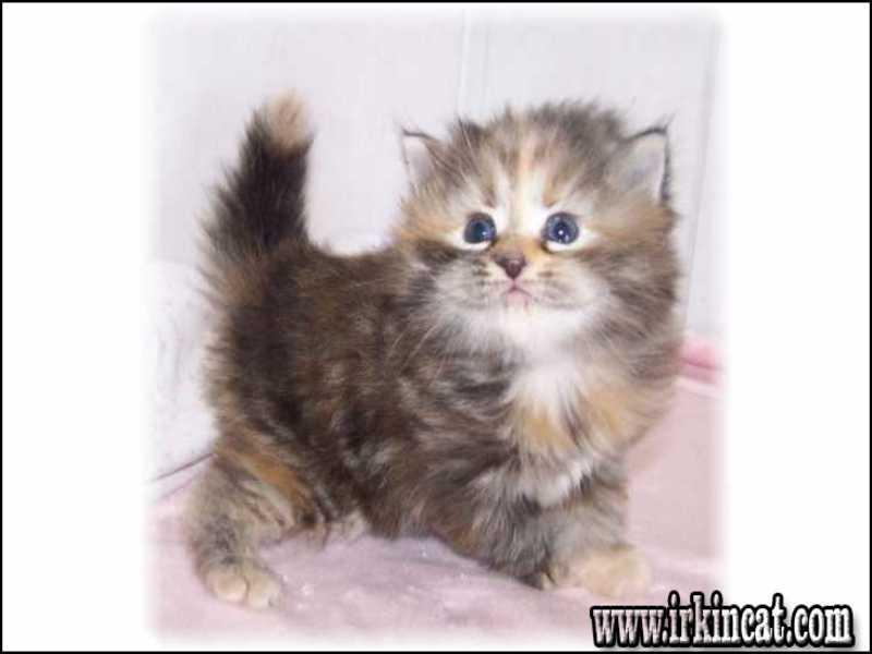 kittens-for-adoption-in-va The Insider Secrets of Kittens For Adoption In Va