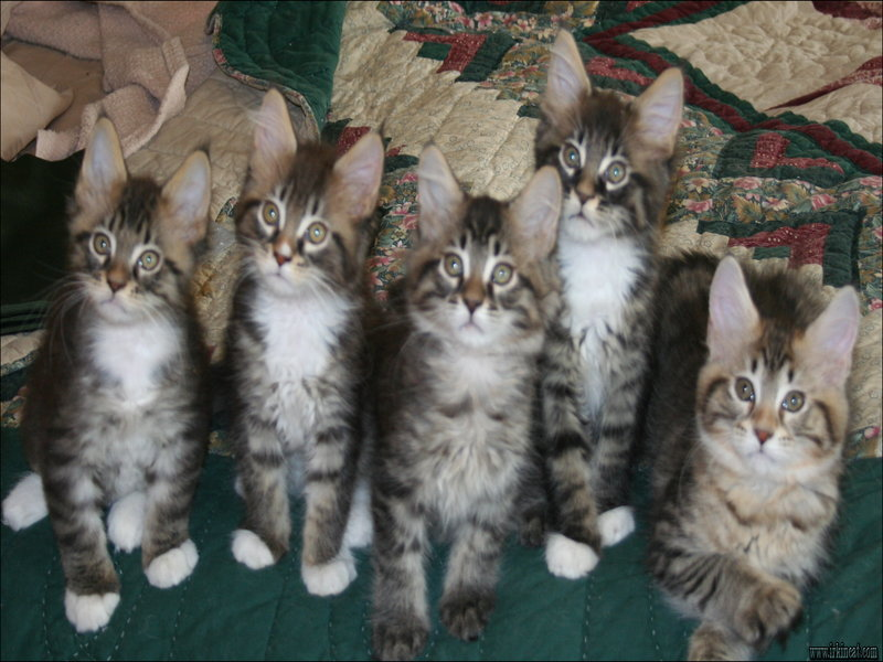 maine-coon-kittens-missouri Maine Coon Kittens Missouri Reviews & Guide