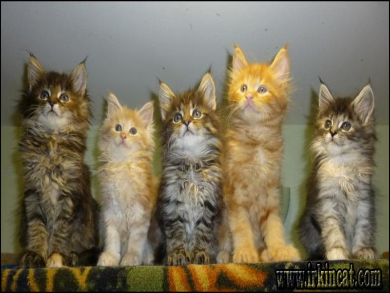 maine-coon-kittens-oklahoma Facts, Fiction, and Maine Coon Kittens Oklahoma