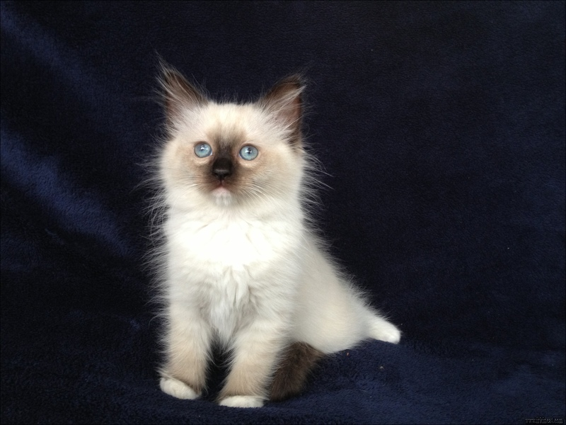 seal-point-ragdoll-kittens The Downside Risk of Seal Point Ragdoll Kittens That No One Is Talking About