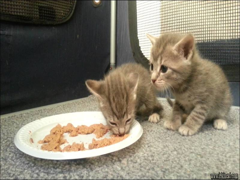 when-do-kittens-eat-food The Most Forgotten Fact About When Do Kittens Eat Food Revealed