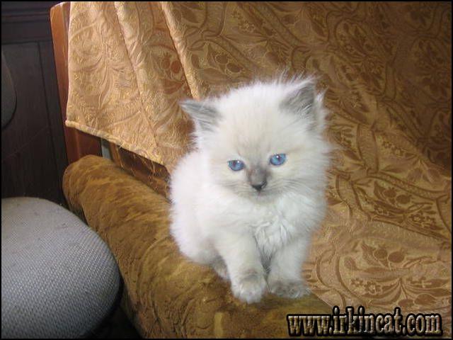 adopt-a-kitten-for-free Adopt A Kitten For Free: No Longer a Mystery