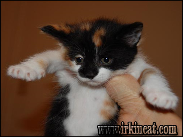 adopt-a-kitten-near-me What to Expect From Adopt A Kitten Near Me?