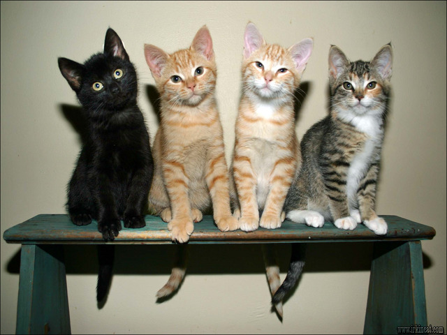 adoptable-kittens-near-me Getting the Best Adoptable Kittens Near Me