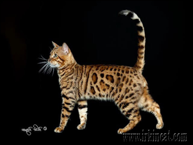 bengal-cat-for-sale-texas The Forbidden Truth Regarding Bengal Cat For Sale Texas Uncovered by an Expert