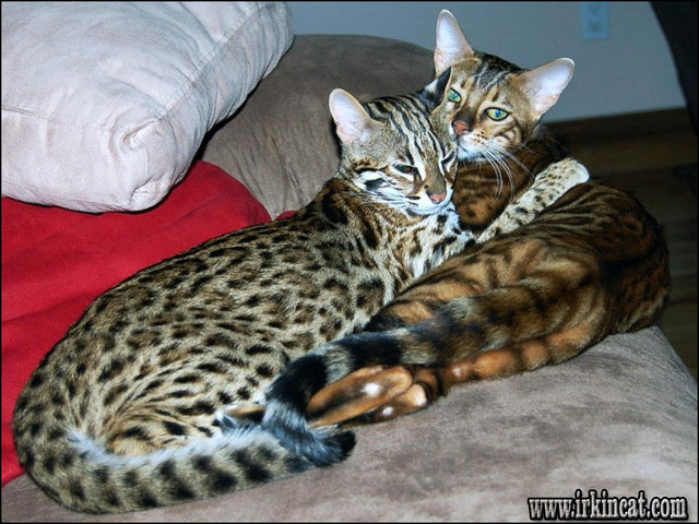 bengal-cats-for-sale-in-ohio Private Info About Bengal Cats For Sale In Ohio Only the Pros Know Exist