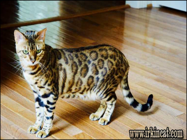 bengal-cats-for-sale-iowa How to Find Bengal Cats For Sale Iowa on the Web