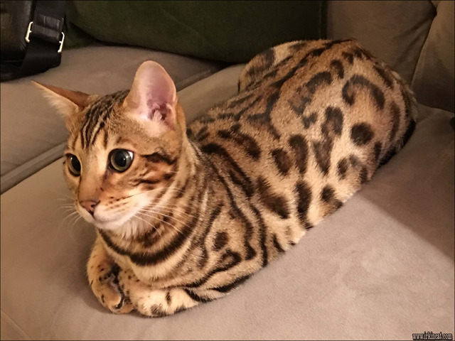 bengal-cats-for-sale-nj Rumored News on Bengal Cats For Sale Nj Uncovered