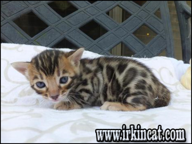 bengal-kittens-for-sale-in-florida Bengal Kittens For Sale In Florida Ideas
