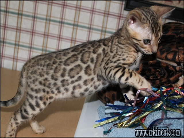 bengal-kittens-for-sale-in-nc Bengal Kittens For Sale In Nc