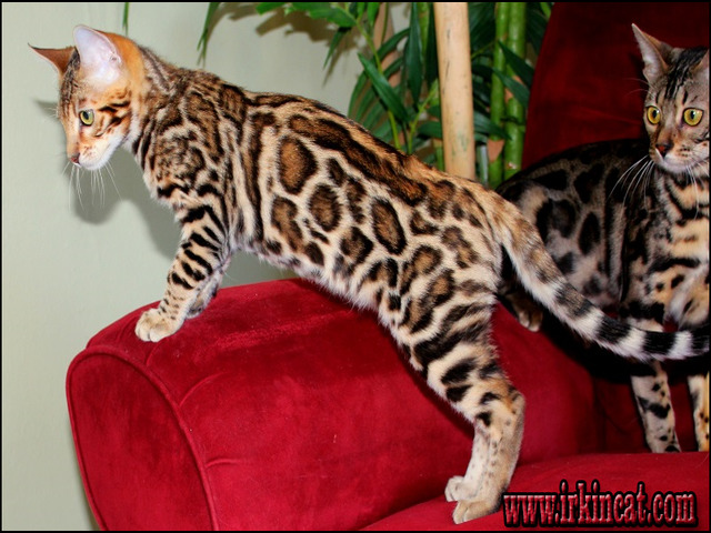 bengal-kittens-for-sale-oregon Bengal Kittens For Sale Oregon Features