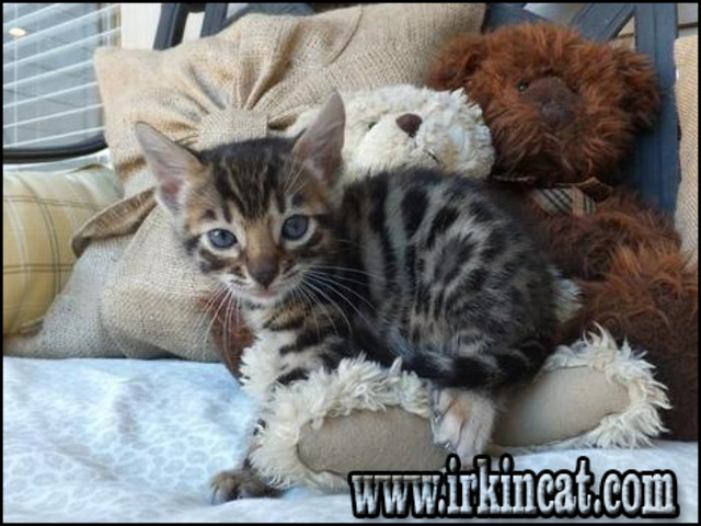 bengal-kittens-for-sale-sc What You Don't Know About Bengal Kittens For Sale Sc