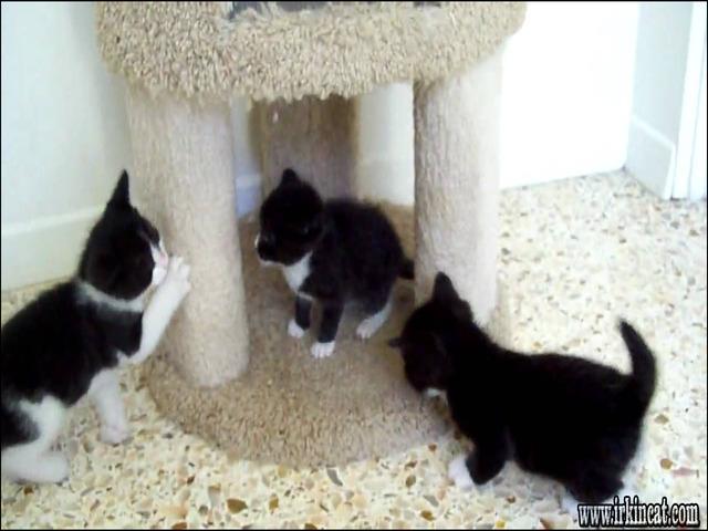 tuxedo-kittens-for-sale New Ideas Into Tuxedo Kittens For Sale Never Before Revealed