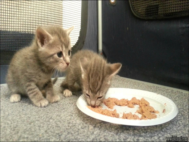 when-can-kittens-eat-food The Most Popular When Can Kittens Eat Food