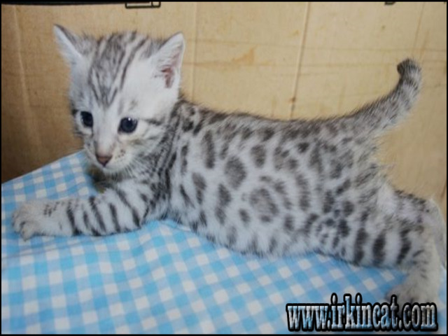 white-bengal-cat-for-sale The Biggest Myth About White Bengal Cat For Sale Exposed