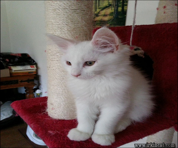 white-maine-coon-kittens-for-sale The Insider Secret on White Maine Coon Kittens For Sale Uncovered