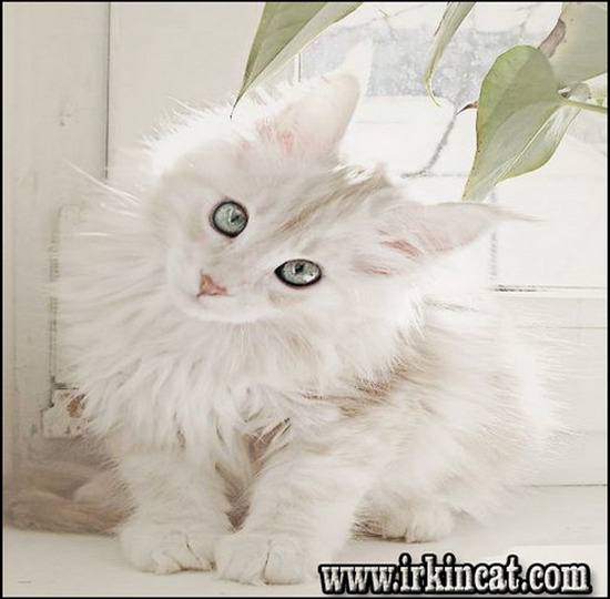 white-maine-coon-kittens White Maine Coon Kittens - Overview