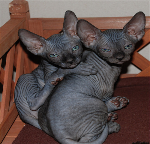 black-hairless-cats-for-sale Unbiased Report Exposes The Unanswered Questions on Black Hairless Cats For Sale