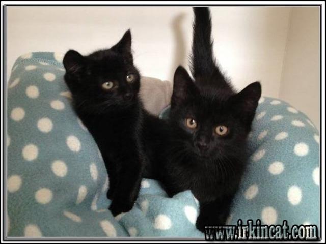 black-kittens-for-adoption Black Kittens For Adoption Tips