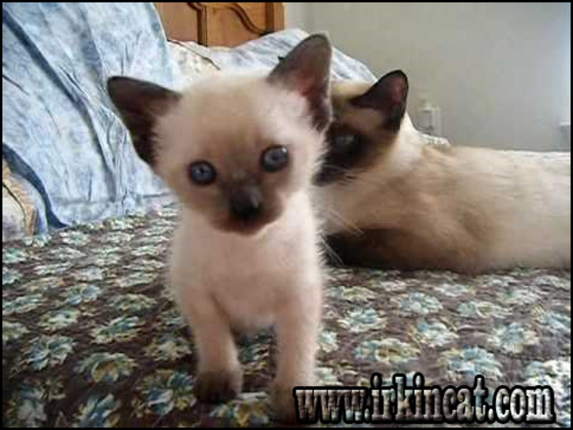 blue-point-siamese-kittens-for-sale Getting the Best Blue Point Siamese Kittens For Sale