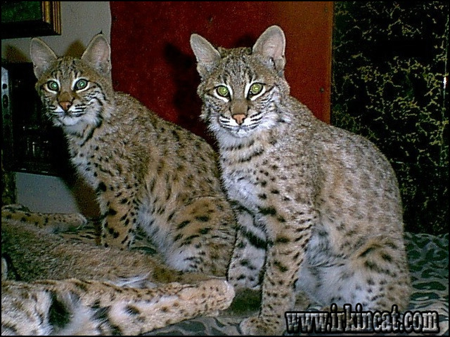 bobcat-kittens-for-sale Possible Warning Signs on Bobcat Kittens For Sale You Must Be Aware Of