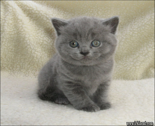 british-shorthair-kittens-for-adoption British Shorthair Kittens For Adoption - the Story
