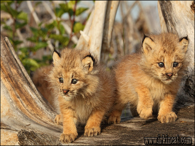 canadian-lynx-kittens-for-sale Buying Canadian Lynx Kittens For Sale