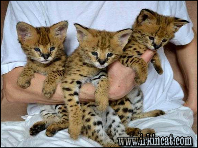 caracal-kittens-for-sale A Deadly Mistake Uncovered on Caracal Kittens For Sale and How to Avoid It