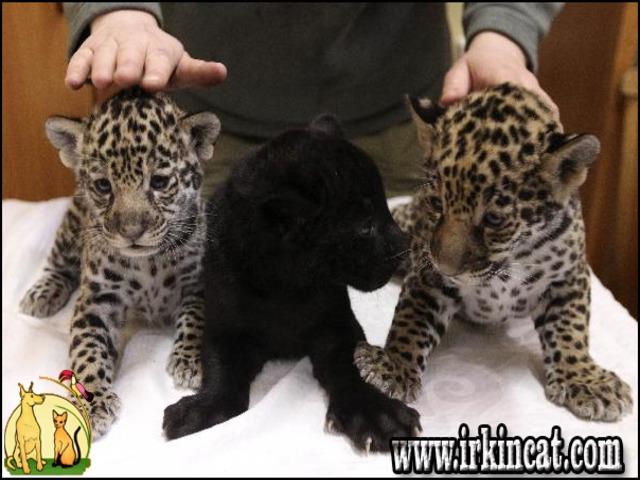 cougar-kittens-for-sale Gives You the Facts on Cougar Kittens For Sale That Only a Few People Know Exist