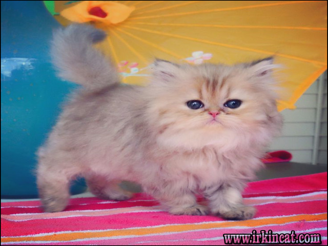 doll-face-persian-kittens-for-sale Doll Face Persian Kittens For Sale Reviews & Tips