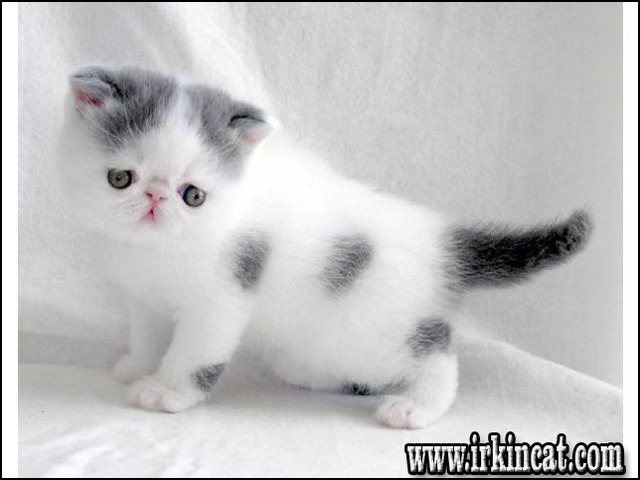 Exotic Shorthair Kittens For Adoption Can Be Fun For Everyone Irkincat Com