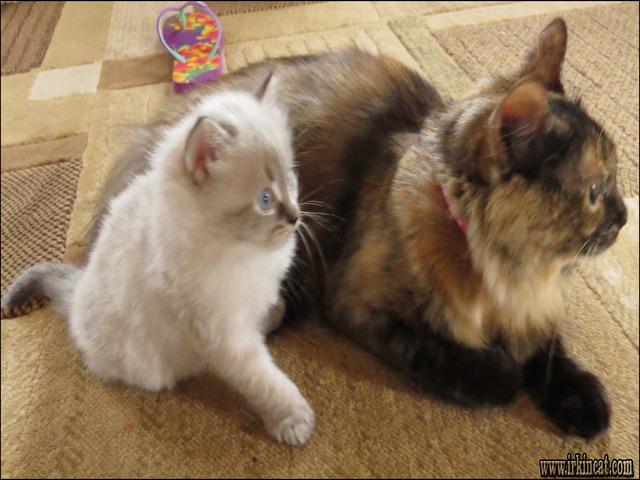 pedigree cat food
