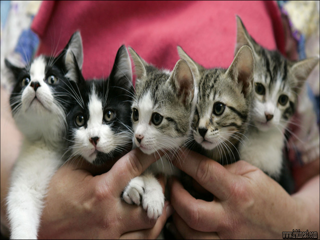 free-kittens-pittsburgh-pa The Appeal of Free Kittens Pittsburgh Pa