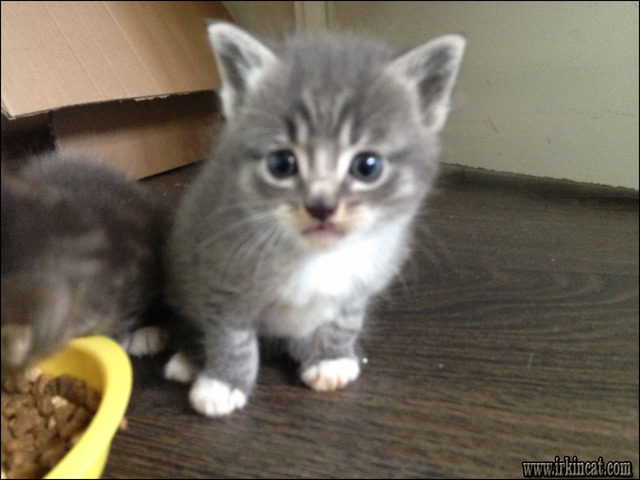gray-kittens-for-sale Outrageous Gray Kittens For Sale Tips