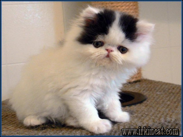 grumpy-cat-breed-for-sale The Most Ignored Fact Regarding Grumpy Cat Breed For Sale Uncovered