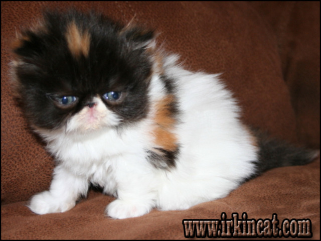 grumpy-cats-for-sale The Undeniable Facts About Grumpy Cats For Sale and How It Can Affect You
