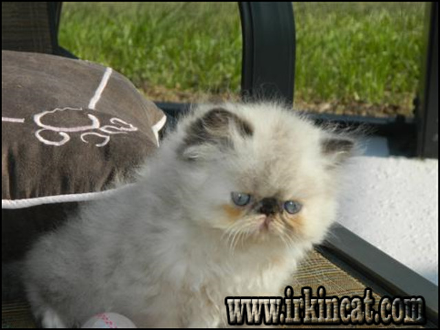 himalayan-kittens-for-sale-in-ohio The Himalayan Kittens For Sale In Ohio Chronicles