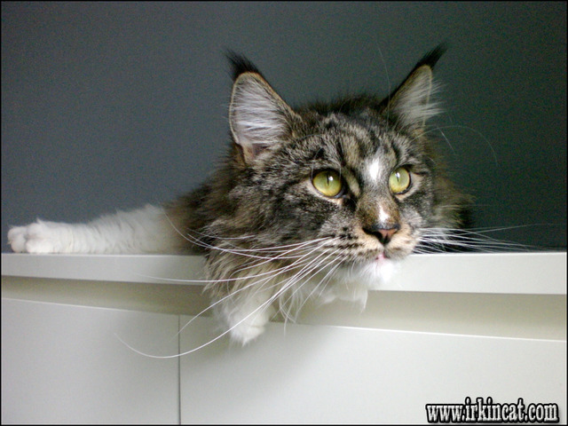 how-much-are-maine-coon-kittens The Do This, Get That Guide On How Much Are Maine Coon Kittens