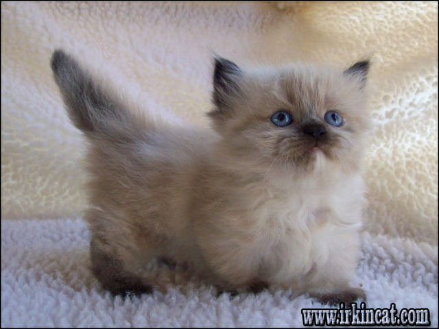 how-much-are-munchkin-kittens Solutions for How Much Are Munchkin Kittens in Step by Step Detail