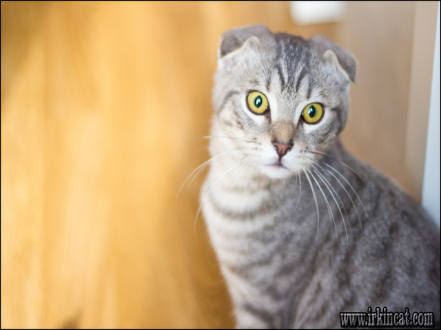 how-much-are-scottish-fold-kittens How Much Are Scottish Fold Kittens and What You Should Do Today