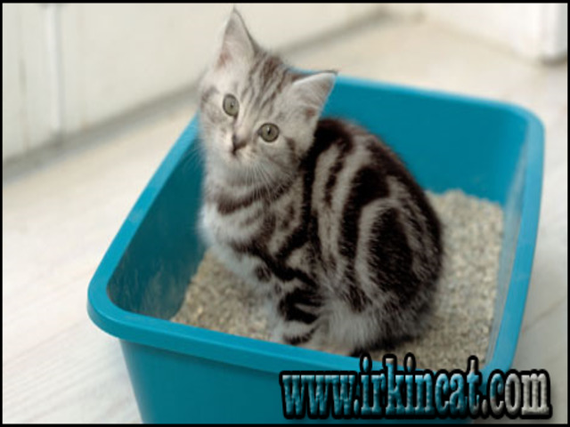 how-to-potty-train-a-kitten How To Potty Train A Kitten Help!
