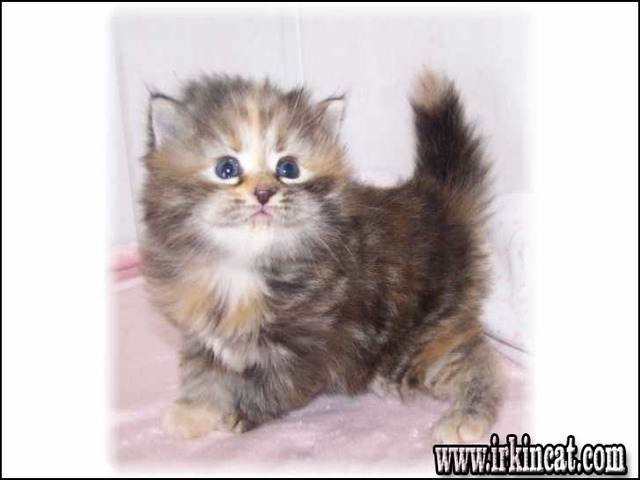 hypoallergenic-kittens-for-sale The Meaning of Hypoallergenic Kittens For Sale