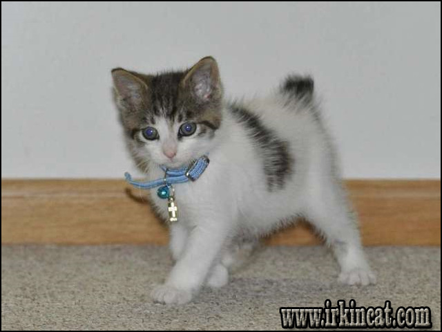 Things You Won T Like About Japanese Bobtail Kittens For Sale And Things You Will Irkincat Com