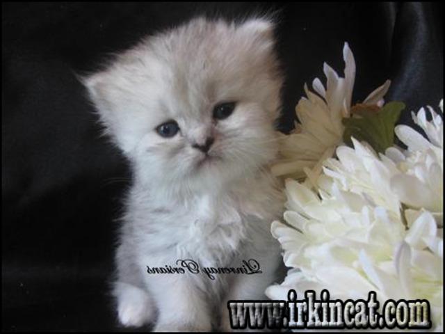 kittens-for-sale-columbus-ohio Sensitive Info on Kittens For Sale Columbus Ohio That Only the Pros Know Exist