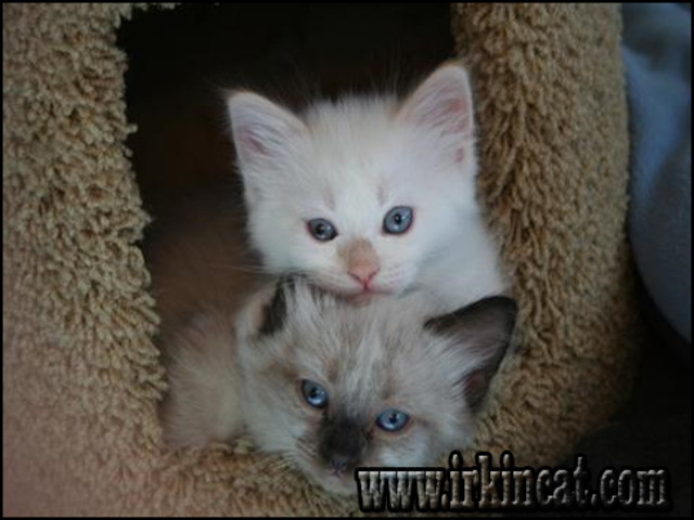 kittens-for-sale-in-utah The Do This, Get That Guide On Kittens For Sale In Utah