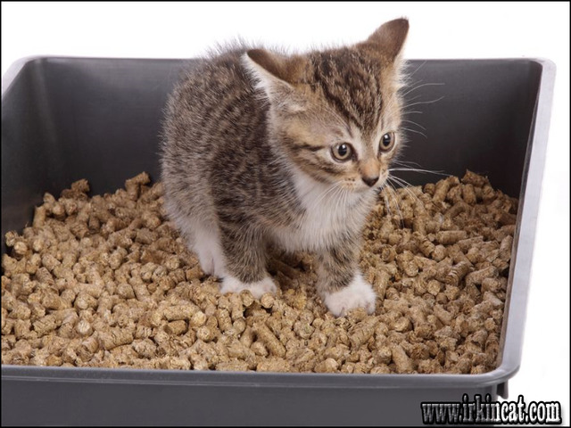 litter-training-a-kitten What You Should Know About Litter Training A Kitten